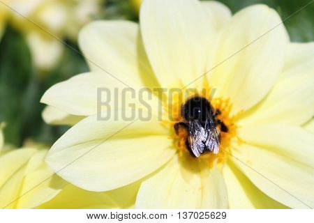 A Bumblebee on a Yellow Dahlia Flower