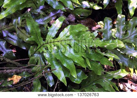 Hounds Tongue Fern (microsorum pustulatum) growing in a forest