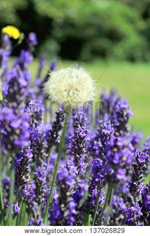 A Dandelion seed head in lavender garden