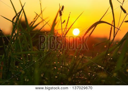 Morning grass with dew when the sun rises
