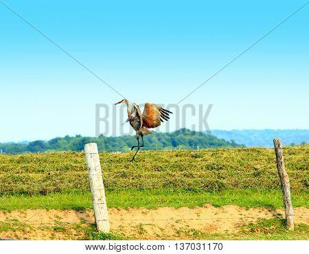 sand hill crane in flight farmland wildlife