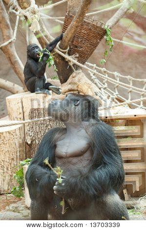Gorilla In The Aviary