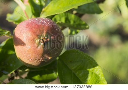 Apple grows on branch with green sheet and drop of water