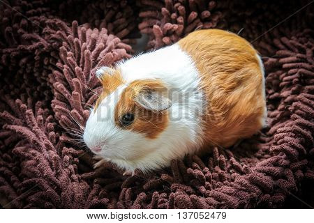 The guinea pig also called the cavy.