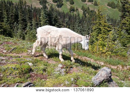 Female Nannny Goat on Hurricane Hill in Olympic National Park in Washington State USA