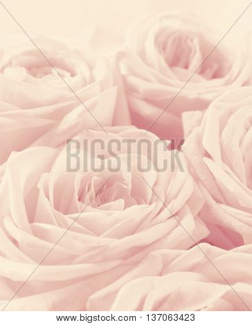 Beautiful white roses toned in sepia can use as wedding background. Soft focus. Retro style. In sepia vintage pastel toned
