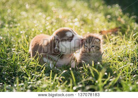 Cute siberian husky puppy and tabby kitten lying on green grass