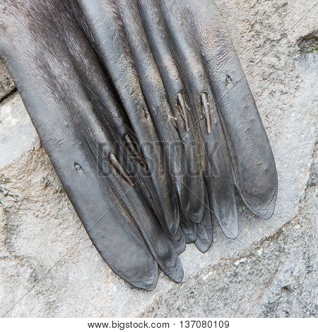 Close-up of a seal nails in the flippers