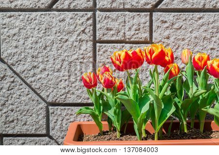 Beautiful Tulips In Flower Pot On The Wall