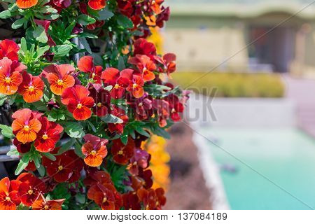 Beautiful Red Pansy Flower In Garden