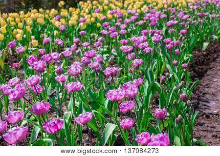 Beautiful Purple Tulips In Flowers Garden.