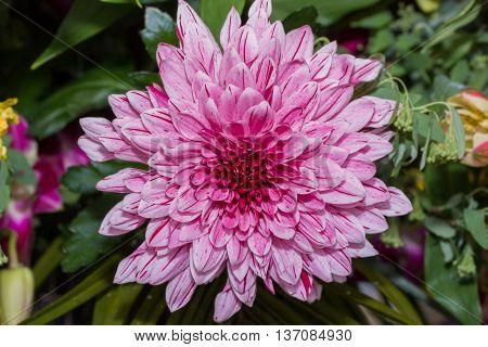 Purple chrysanthemum flower in garden nature background.