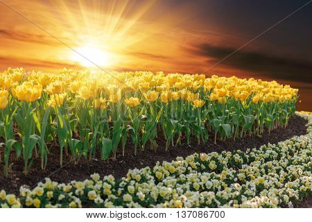Beautiful Yellow Tulips In Garden With Sunset Sky Background.