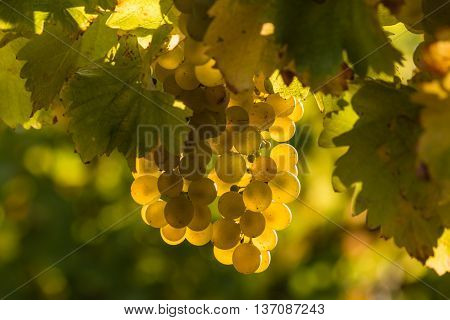 isolated sauvignon blanc grapes on vine in vineyard