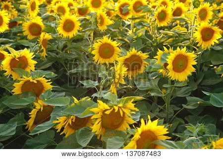 bright colorful and juicy flower or flowers growing on a sunflower field photo for micro-stock