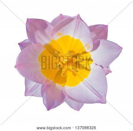 Close-up Beautiful Tulip Flower Isolated On White