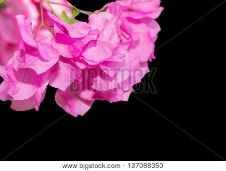 Beautiful Magenta Bougainvillea Flowers.