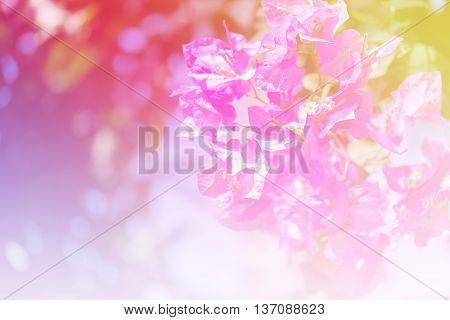Beautiful Magenta Bougainvillea Flowers Colorful Concept.