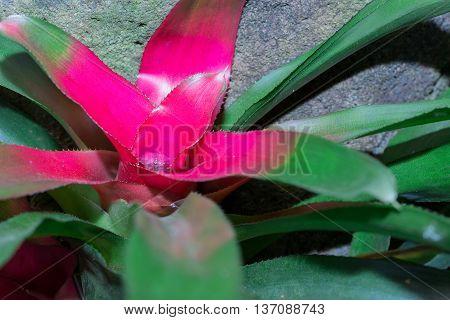 (vriesea Imperialis) Bromeliad Or Urn Plant (aechmea Fasciata)