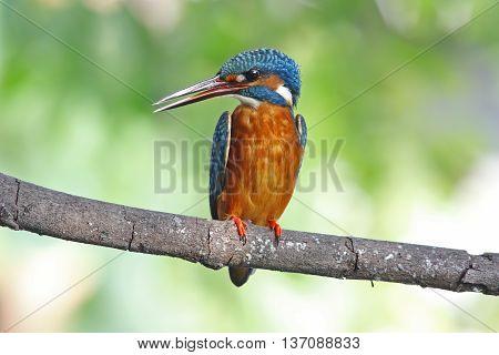 Common Kingfisher Alcedo atthis Female Birds of Thailand