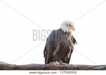 Bald Feral Eagle Perched On A Dry Branch Isolated On White