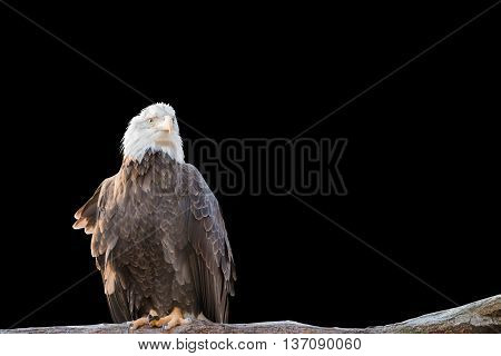 Bald Feral Eagle Perched On A Dry Branch Isolated On Black.