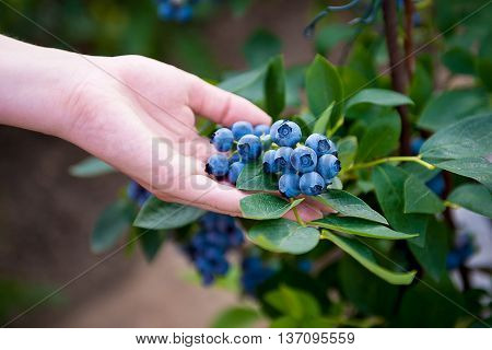 Hand holding bunch of blueberries.Blueberry bush. Vaccinium corymbosum. Northern highbush blueberry.