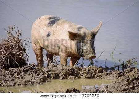 a spotted pig