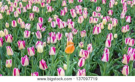 A single Dordogne tulip in a patch of Del Piero tulips.