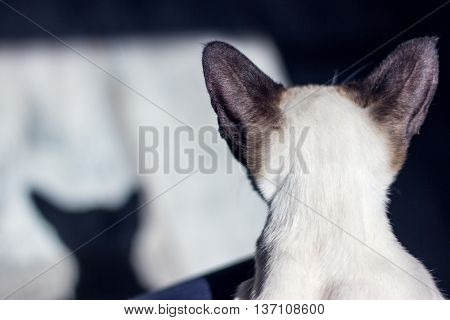 Abstract wallpaper with head of oriental seal point cat. Landscape orientation.