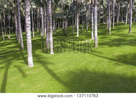 Green glade among palm trees in park