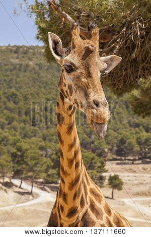 Young giraffe in the natural park in Spain