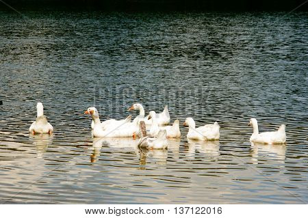Gaggle of white geese swimming on top of rippled lake with copy space below and beneath them