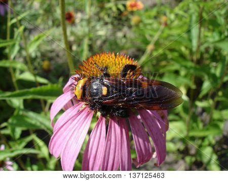 Mammoth Wasp Female (megascolia Maculata Flavifrons) On A Eastern Purple Coneflower Flower