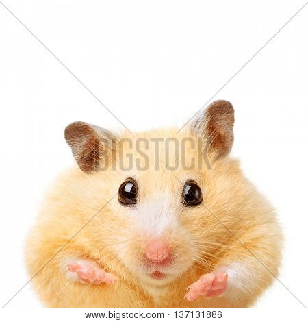 Fat funny hamster isolated on white background