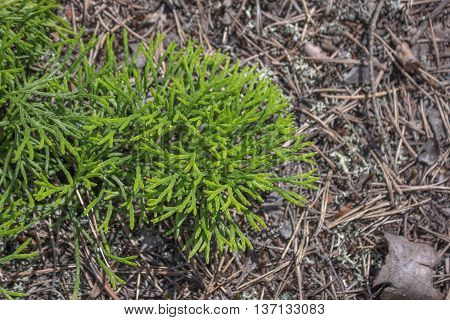 Photo of Spreading Clubmoss Diphasiastrum Lycopodiaceae. Decorative forest moss
