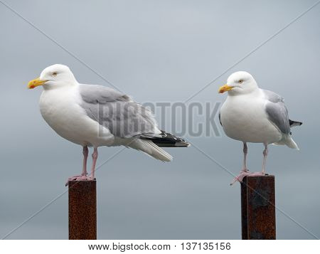 Two seagulls perched on top of a rusty ladder, Falmouth Cornwall England.