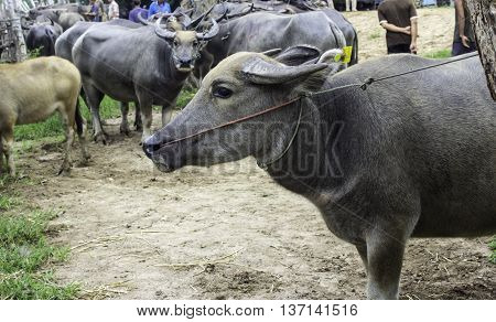 Resale market the Buffalo and cows Thailand