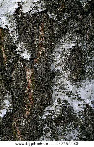 nice texture of white birch in the forest
