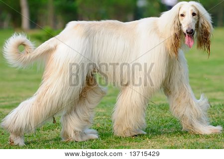 Afghan Hound Dog Walking