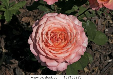 nice big pink rose in the garden