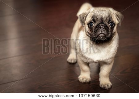 A Photography of a little pug inside the house