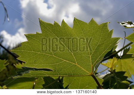 green texture leaves grapes in the garden