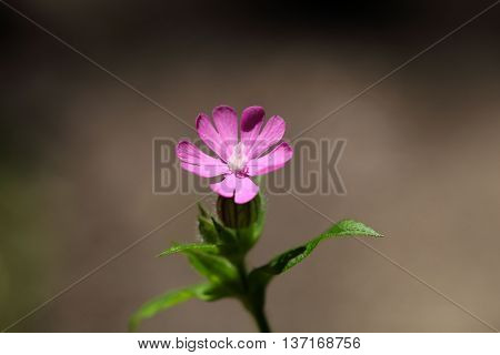 Flower of a red campion (Silene dioica)