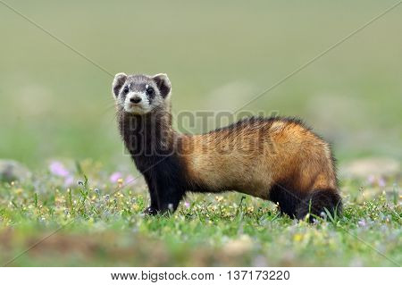 The steppe polecat (Mustela eversmanii) in natural habitat