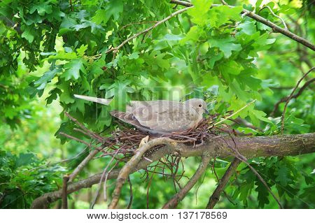 Pigeon Bird. Nest Of A Bird In The Nature.