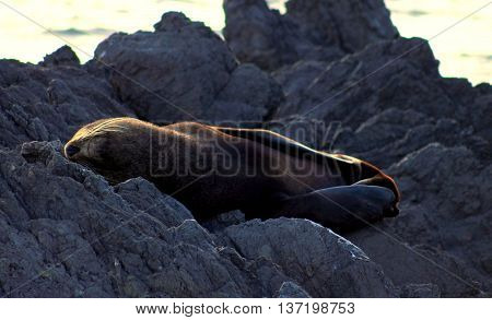 New Zealand Fur Seal, Arctocephalus forsteri, southern fur seal or long-nosed fur seal at Cape Palliser, New Zealand