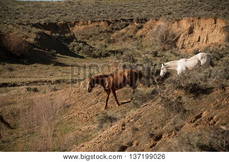 Two wild horses heading down into ravine for water