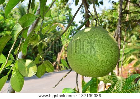 Grapefruit hanging on tree / Grapefruit tree / Pomelo hanging on tree / Pomelo tree / Grapefruit tree with fruits closeup / Pomelo tree with fruits closeup