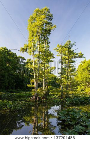 View of Bald Cypress (Taxodium distichum) trees at Reelfoot national wildlife refuge